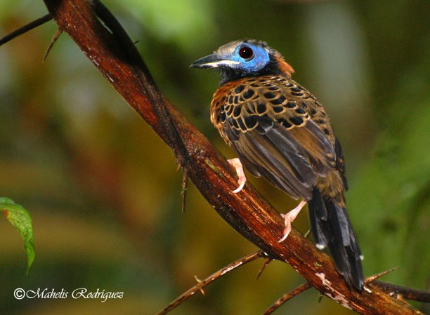 Pipeline Road - Ocellated Antbird